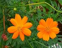 通りすがりに咲いていたこの花は、なんですか?コスモスでしょうか? コスモスはピンク色しか知らないので、オレンジ色もあるのでしょうか?