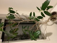 観葉植物の名前は? ホームセンターで観葉植物を買いましたが、種類が分かりません。 ゴムの木の一種かと思うのですが、ネットで色々調べてもこれだ!と思うものがありません。 葉に模様はなく、茎に赤みなども...