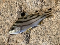 釣れた魚がわかりません。  この魚は何でしょうか? 食べられますか??