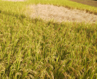 素朴な疑問なのですが、うちの周りは田んぼが多く、もうすぐ稲刈りの時期だと思います。毎年稲を見ていますが、今年は下の写真のように一部枯れているとゆうか、稲が倒れている田んぼが多いです。 これは台風とか...