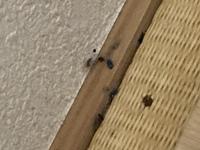 画像注意です! 家を掃除していたら黒いゴマのようなものがたくさん見つかりました これはゴキブリの卵もしくは糞でしょうか? 検索したところゴキブリの卵よりは小さそうなので糞なのではと怯えています ちな...