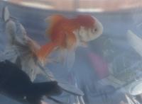 この金魚はオランダ獅子頭になるのですか?