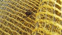 この蜘蛛はセアカゴケグモですか?