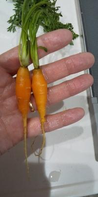 人参が上手く育ちませんでした。  7月最初プランターに、ミニ人参の種を巻きました。 栽培中、葉っぱはいつもベタっと地面に広がったように倒れている状態が、気になっていました。  9月末に収穫しましたが、写真のように、全く大きくなっていませんでした。  何か原因は考えられるでしょうか?(>_<) よろしくお願いいたします。  肥料は忘れずあげました。日当たりも良かったです。 青虫には...