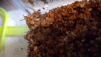 カブトムシの幼虫の飼育のことで質問です。よろしくお願いします! 私はカブトムシの幼虫を飼育しています。今日、マットに霧吹きをしようと、飼育ケースをあけたら、クモの巣?みたいな、白い細い糸のようなもの...