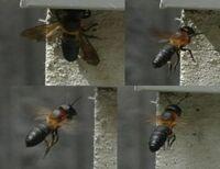 家の基礎部分に大型の蜂が出入りしています。 外から帰ってくるときは何かを咥えているので、巣を作っているのでしょうか。 「ブーン」と大きな羽音を鳴らしているのでスズメバチかと思いましたが、よく見る黒と黄色の縞模様ではありません。 何という種類の蜂でしょうか?