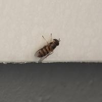 ベランダにハチってぽい虫がいます。 これの名前を教えてください。 また、最近毎日ベランダにいるのですが、この虫は巣を作りますか?