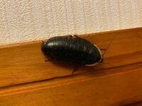 玄関にいる虫です。ゴキブリよりガッチリしているのですが、ゴキブリでしょうか?