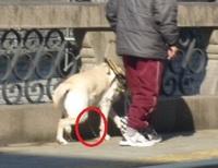 盲導犬で大儲けの日本盲導犬協会をどう思いますか? http://nagaipro.com/an/?p=63328 これだけ儲けているのに盲導犬普及の募金活動なんてやっていますね。 ↓九州盲導犬協会と盲導犬ユーザーに殺されたといっていい盲導犬アトム(足を引きずり歩きながら尿をもらす様子)