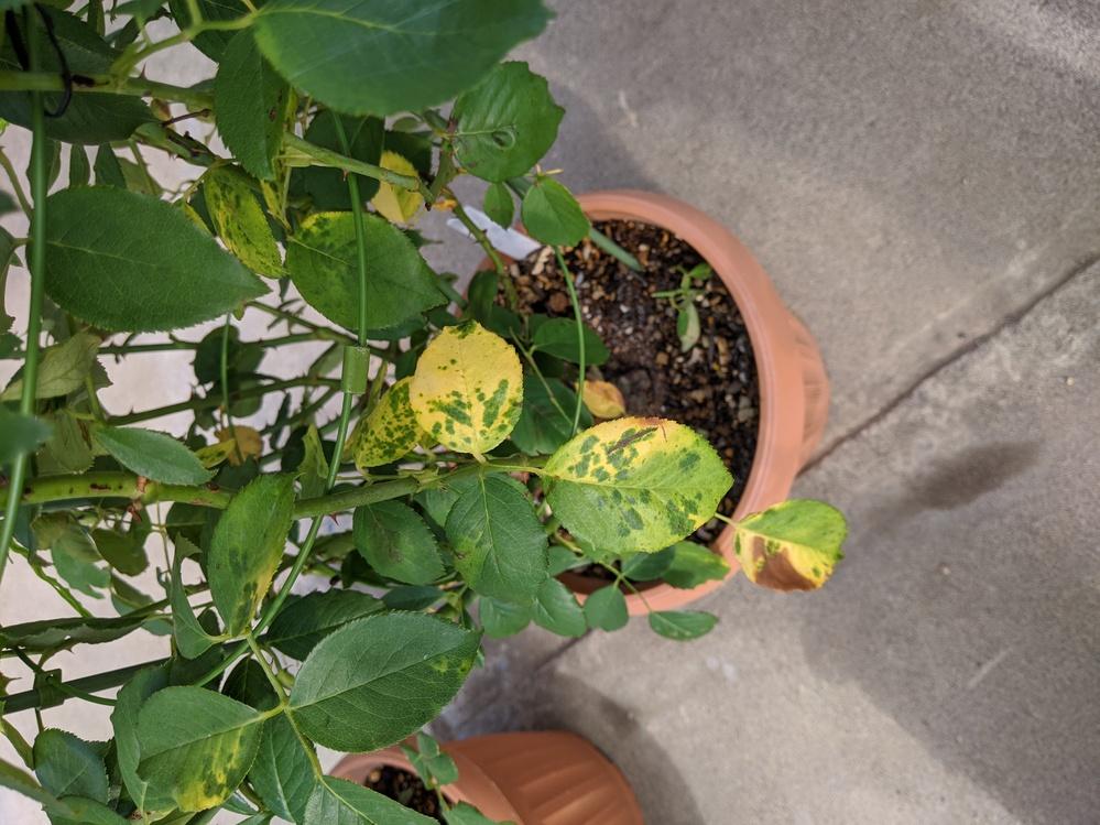 8バラの葉が黄色いです。黒星病でしょうか? 雨にも当たらず今までの元気でした。水切れでも無いです。黒くならず上の葉まで黄色いポツポツができ、最終的に葉全体黄色いです。先週サプロールも巻きました。...