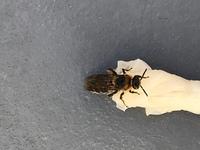 これは、蜜蜂の女王?ですか? 蜜蜂の場合、働き蜂を沢山連れて新居の候補地を探すと、聞きますが、一匹だけです。 全く逃げないので、砂糖水を与えると、蜜蜂の様に舐めてます。 殺すのも嫌ですが、スズメ蜂系統なら巣を作られるのも、嫌ですので。