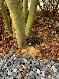 庭木のイロハモミジの幹の付け根に写真のようなオレンジ色の粉が溜まっています。夏は元気いっぱいだったイロハモミジが、最近は葉っぱが一部枯れてきており隣の家の同じ種は紅葉して生き生きとしてるのに対し、元気 がない様子でした。そこで何かあるのかと探していたところこれを発見しました。 そこで質問です、以下教えて頂けないでしょうか。 ①これはカミキリムシの仕業でしょうか。 ②カミキリムシの場合、対処は...