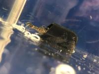 現在ミニブッシープレコというお魚さんを2匹飼っているんですが、その内の1匹がなぜか濾過器(?)にしょっちゅう頭を突っ込んでます。 他にもこういう行動をするお魚さんはいるんでしょうか? もし詳しい方がい...