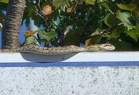 蛇の名前を教えてください。 毒蛇でしょうか? 家の近くの公園で見つけました。 子供が集まる場所なので心配です。