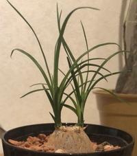 観葉植物に詳しい方お願いします。 これ、なんという植物でしょうか、 また、育て方などご存知の方いらっしゃいましたら宜しくお願いします。