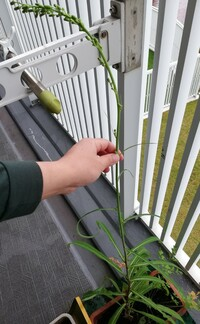 この植物は何ですか?雑草だと思いますがが、パセリを育てて枯れたら生えてきます。