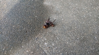この蜂は何と言う蜂ですか!?茶色っぽいアシナガ?