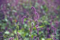 この植物の名前を教えて下さい 赤いじゅうたんに赤蕎麦かと近づいたら、これ、名前を教えて下さい。 近江八幡市の田んぼでみつけました