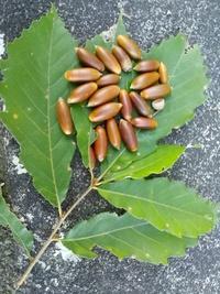 このドングリがついている木の名前を教えて下さい。 コナラのドングリよりも細い気がします。