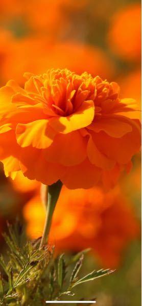 閲覧ありがとうございます。この花の名前を教えて欲しいのですが、詳しい方おられますでしょうか?