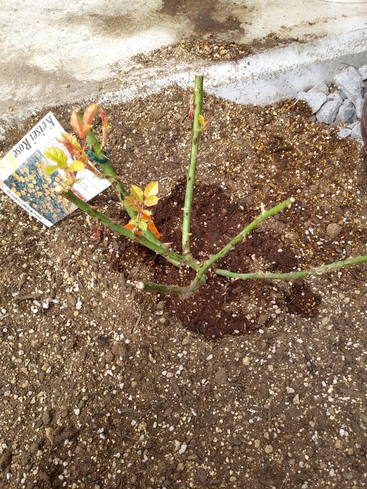 サハラ'98の2年苗が先日届きました。早速地植えにしたのですが、よくよく考えれば私が住む場所は寒冷地で冬は-15度になります。 寒冷紗や堆肥で冬が乗り切れるのか心配になってきました。 (バラ園の...