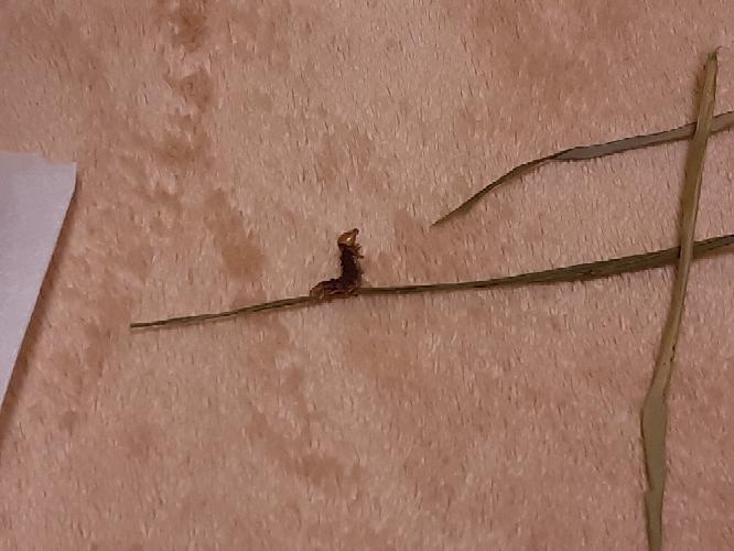 うさぎに与えている乾燥牧草に、こんなものが…。 恐らく乾燥機にかけられた瞬間この体勢でお亡くなりになったものと思われます。 牧草の袋の中に虫が混入していることは良くあることなのかもしれませんが...