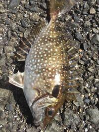 魚を釣ったのですが、食べられる魚かわからないので何の魚か教えてください。