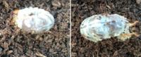 クワガタの幼虫のオスメスの区別について 閲覧ありがとうございます 我が家のオオクワガタが卵を産みました 飼育ケースの土をいじっていたところ、偶然発見しました。  2匹しか確認できませんでしたが、菌糸ビンで育ててみようかと検討中です  クワガタの幼虫はお尻の卵巣の有無で見分けることが出きるらしいですが、私には分かりませんでした。  写真を撮りましたので、分かる方いらっしゃいましたら、よろしくお...
