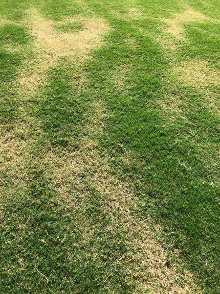 ティフトン芝なんですが、今年の夏の猛暑で、毎日朝夕水やりしても日中には、よれてしまっていました。 その影響か、今になっても緑の元気な所と、茶色いところがムラになってしまい、なかなか回復しません。 肥料