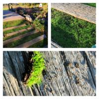テーマパークで、芝生でもなく苔でもない?植物を見つけました。自宅の庭にも同様に芝生のように育てたいと思ってます。この植物の名称を教えてください。 場所は千葉県市原市のドイツ村。 日時は10月25日です。 ...