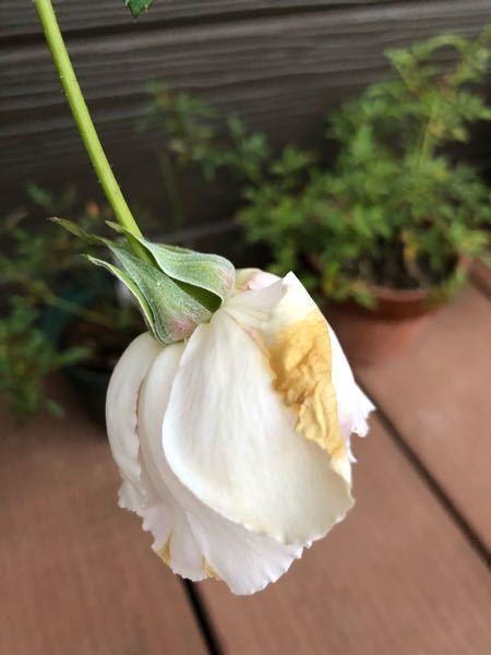 うどん粉病??? バラのガク?の部分が白くなっています。 葉にはないですが、これもうどん粉病ですか? そうだとして、どうしたらいいのでしょう。 調べても、コレ、という対処法がはっきりわかりま...