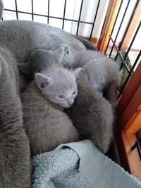 かわいいですか?    (ΦωΦ) ロシアンブルー子猫24日目