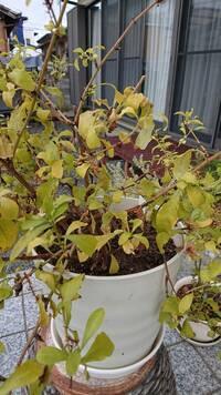 ルリマツリについて教えて下さい。 葉が黄色くなってしまっています。 原因は何でしょうか?