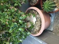 金のなる木を鉢植えしていますが、根っこのところが白くなってきました。何か木の病気の様な物でしょうか?