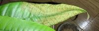 今夏から室内でマンゴーを育てているのですが、葉が6枚ほどついた頃から、 葉の先端から葉脈が黒くなり始め葉脈に沿って葉全体が枯れるというのが全ての葉で起きています。(写真参照) 普段見る他の木の枯れ方と...
