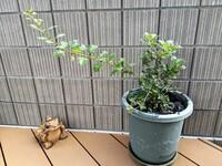 クリスマスルビーの最も太い幹から急激に新しい枝が伸びてきました。 これはこのまま伸ばしておいていいのでしょうか? 見た目のバランスが悪いので切ってしまいたいところですが。 春にホーセンターで買ってきた...