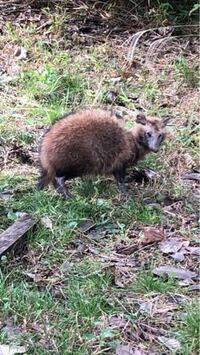 この動物は何かご存知ですか。 タヌキのような、キツネのような、犬のような、 よく分からない生き物です。アナグマ、ハクビシンでもありません。 近所のおじいちゃんも、昔からいる野生動物だけど、 名前は分か...