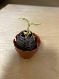 サボテンの育て方について。 息子がサボテンを育てています。 説明書に記載通り種を撒き、発芽したのですが、このままで良いのか不安で質問させて頂きました。 芽が3つくっついて育っています。 説明書には、大き...