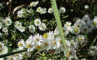 この野草は何と言う名前でしょうか? 庭に生えてきたのですが、白い花が房状に付いています