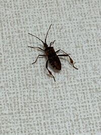 これはなんの虫ですか? コオロギ?ゴキブリ?