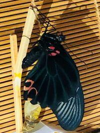 ナガサキアゲハ(?)生まれました!! 一部見た感じ真っ黒なのでオスの様です。  今外雨ですし、真っ暗…。 まだ羽2cmぐらいしか広げていないので 乾いていないでしょうし… いつ外に放せば良いでしょうか?  何も食べさせずに外出して大丈夫でしょうか?  ちなみに…ナガサキアゲハの蛹って臭かったりしますか?(;^_^A ナガサキだったか、クロだったか、1匹蛹が臭いんです…f(ー_ー;)