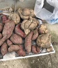これって食べても大丈夫なんでしょうか??  先日、母からこのような写真が送られてきまして…。 母いわく、実家の畑から掘り起こしたら 変な白い芋がでてきた!!との事です。  私は野菜に関して大した知識...