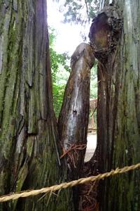これが杖杉ですか?