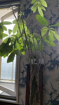 パキラが弱ってます。対処方法を教えてください。 画像の通り、5本ある幹(?)から伸びてる太い茎のうち4本が茶色になってしまい、先端の葉もほぼなくなっています。  1本は茎の上半分だけ緑で下は茶色、葉はどんどん落ちます。  枯れた(?)4本の茎はもう戻らないでしょうか?  原因と具体的な対処方をお願いします。