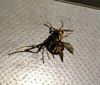 こちらの蜂に刺されたのですが、これはアシナガバチでしょうか。キイロスズメバチにも見えるのですが… スプレーをかけたらひっくり返ってしまいました。