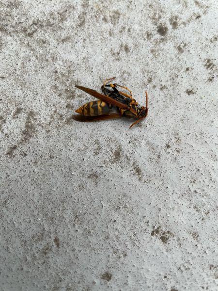 こんにちは。これは何バチですか?ベランダに何匹もくるのですが(T▽T)