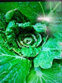 白菜を育てているのですがこの中心の葉の巻いた感じって何かの病気とかですか? 詳しい方いたら対処方をお願いします!