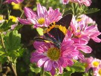 珍しい蝶々を見つけました、図鑑で調べてもわかりません。 写真を添付しますので教えて下さい。