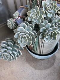 植物の名前を教えていただきたいです。 多肉植物のエケベリア属だとは思うのですが、白牡丹?七福神?似ているものが多く分かりません。 よろしくお願いします。
