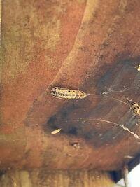 何の蛹の抜け殻かわかりますか?